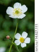 Купить «Bachelor's button, Ranunculus aconitifolius / Eisenhutblättriger Hahnenfuß, Ranunculus aconitifolius», фото № 14827111, снято 8 августа 2012 г. (c) age Fotostock / Фотобанк Лори