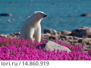 Polar Bear (Ursa maritimus) in fireweed (Epilobium angustifolium) on an island off the sub-arctic coast of Hudson Bay, Churchill, Manitoba, Canada. Стоковое фото, фотограф Dennis Fast / VWPics / age Fotostock / Фотобанк Лори