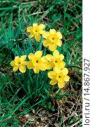 narcissus (Narcissus rupicola), blooming plant, Portugal, Serra Estrela. Стоковое фото, фотограф J. Flohe / age Fotostock / Фотобанк Лори
