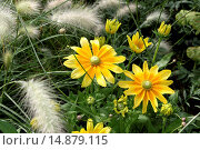 Купить «black-eyed susan, hairy coneflower, yellow daisy (Rudbeckia hirta), with Pennisetum villosum», фото № 14879115, снято 17 июля 2007 г. (c) age Fotostock / Фотобанк Лори