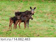Купить «elk, European moose (Alces alces alces), female with two calves, Sweden, Vaestergotland», фото № 14882483, снято 29 августа 2007 г. (c) age Fotostock / Фотобанк Лори