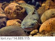 burbot (Lota lota), on pebbles, Germany. Стоковое фото, фотограф A. Hartl / age Fotostock / Фотобанк Лори