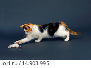 Totoishell Kitten Playing with pet White Mouse (2005 год). Редакционное фото, фотограф Ernie Janes / age Fotostock / Фотобанк Лори