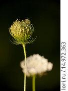 Купить «Wilde Möhre, Daucus carota, wild carrot, geschlossene und offene Blüte», фото № 14972363, снято 6 июля 2020 г. (c) age Fotostock / Фотобанк Лори