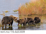 Grizzlybaerin steht mit ihren Jungen am Ufer des Brooks River - (Braunbaer) / Grizzly Bear sow standing with her cubs at riverside of Brooks River - (Grizzly... Стоковое фото, фотограф Zoonar/Helge Schulz / age Fotostock / Фотобанк Лори