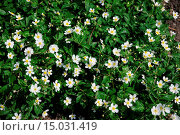 Купить «Ranunculus aconitifolius, Eisenhutblättriger Hahnenfuß, Buttercup», фото № 15031419, снято 20 апреля 2019 г. (c) age Fotostock / Фотобанк Лори