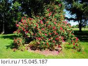 Купить «Rosa gallica Scharlachglut, Essig-Rose, French rose», фото № 15045187, снято 23 апреля 2019 г. (c) age Fotostock / Фотобанк Лори