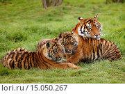 Купить «Sumatran Tiger, panthera tigris sumatrae, Mother and Youngs.», фото № 15050267, снято 7 августа 2014 г. (c) age Fotostock / Фотобанк Лори