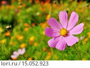 Купить «Цветок розовой космеи», фото № 15052923, снято 27 июня 2019 г. (c) Зезелина Марина / Фотобанк Лори