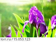 Купить «Фиолетовый ирис при ярком свете», фото № 15053123, снято 27 июня 2019 г. (c) Зезелина Марина / Фотобанк Лори