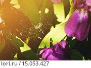Купить «Паутина среди фиолетовых ирисов в лучах заката», фото № 15053427, снято 18 сентября 2018 г. (c) Зезелина Марина / Фотобанк Лори