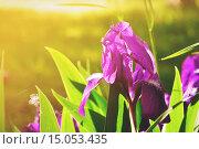 Купить «Крупным планом лепестки фиолетового ириса при ярком свете», фото № 15053435, снято 18 сентября 2018 г. (c) Зезелина Марина / Фотобанк Лори