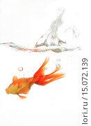 Купить «goldfish, common carp, fantail, comet, swallowtail (Carassius auratus), falling into water», фото № 15072139, снято 11 мая 2007 г. (c) age Fotostock / Фотобанк Лори