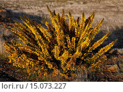 gorse, furze, golden gorse (Ulex europaeus), bloo,img at Paula Da Serra, Portugal, Madeira. Стоковое фото, фотограф M. Lohmann / age Fotostock / Фотобанк Лори