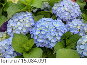 Garden hydrangea, Lace cap hydrangea (Hydrangea macrophylla 'Forever and ever Blue', Hydrangea macrophylla Forever and ever Blue), cultivar Forever and ever Blue. Стоковое фото, фотограф McPHOTO/H.-R. Mueller / age Fotostock / Фотобанк Лори