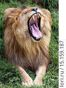 Купить «A lion showing its mouth in the Cabarceno Nature Park, Cantabria, Spain», фото № 15159187, снято 21 августа 2014 г. (c) age Fotostock / Фотобанк Лори