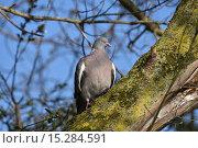 Лесной голубь вяхирь. Стоковое фото, фотограф Юлия Бубличенко / Фотобанк Лори