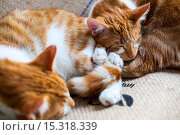 Купить «If your fe-line like you want to have lunch with your kitty then why not head to London's first ever cat café! Lady Dinah's Cat Emporium allows visitors...», фото № 15318339, снято 9 июня 2014 г. (c) age Fotostock / Фотобанк Лори