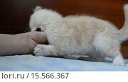 Купить «Котёнок кусает руку женщины», видеоролик № 15566367, снято 1 декабря 2015 г. (c) Володина Ольга / Фотобанк Лори
