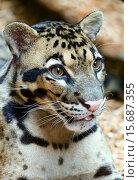 Spotty leopard closeup. Стоковое фото, фотограф Юрий Брыкайло / Фотобанк Лори
