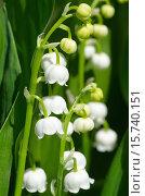 Купить «Ландыш майский (лат. Convallaria majalis)», фото № 15740151, снято 26 мая 2015 г. (c) Елена Коромыслова / Фотобанк Лори
