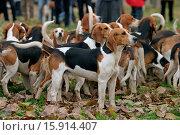 Купить «Beagle», фото № 15914407, снято 22 июля 2019 г. (c) age Fotostock / Фотобанк Лори
