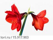 Купить «Amaryllis, Hippeastrum, Two red flowers on a long stem against a white background.», фото № 15917903, снято 20 января 2014 г. (c) age Fotostock / Фотобанк Лори