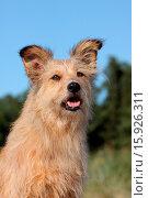 Купить «Irish-Terrier-Mongrel», фото № 15926311, снято 16 сентября 2009 г. (c) age Fotostock / Фотобанк Лори