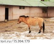 Лошадь Пржевальского в загоне. Стоковое фото, фотограф Юлия Машкова / Фотобанк Лори
