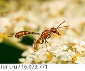Купить «Apocritan wasp (Gasteruption hastator), Preening female on Daucus carota, Germany», фото № 16073771, снято 13 июля 2008 г. (c) age Fotostock / Фотобанк Лори