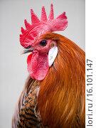 red junglefowl. Стоковое фото, фотограф Tierfotoagentur / M. Zindl / age Fotostock / Фотобанк Лори