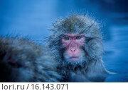 Купить «Monkeys in a natural onsen (hot spring), located in Jigokudani Monkey Park, Nagono prefecture,Japan.», фото № 16143071, снято 15 июля 2020 г. (c) age Fotostock / Фотобанк Лори