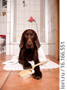 Купить «German shorthaired Pointer in bathroom», фото № 16166551, снято 13 ноября 2019 г. (c) age Fotostock / Фотобанк Лори
