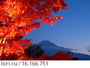 Купить «Japan, Koshinetsu Region, Yamanashi Prefecture, Fujikawaguchiko, View of maple leaf with Mount Fuji in background.», фото № 16166751, снято 17 июля 2019 г. (c) age Fotostock / Фотобанк Лори