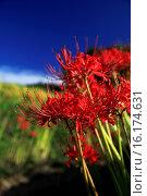 Купить «Japan, Kinki Region, Nara Prefecture, Asuka, Close-up of Cluster Amaryllis.», фото № 16174631, снято 26 мая 2019 г. (c) age Fotostock / Фотобанк Лори