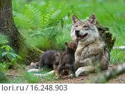 Купить «European wolfs», фото № 16248903, снято 23 апреля 2019 г. (c) age Fotostock / Фотобанк Лори