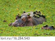 Купить «hippos», фото № 16284543, снято 22 апреля 2018 г. (c) age Fotostock / Фотобанк Лори