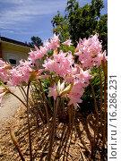 Купить «AMARYLLIS BELLADONNA», фото № 16286231, снято 3 августа 2012 г. (c) age Fotostock / Фотобанк Лори