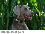 Купить «Weimaraner», фото № 16351771, снято 13 июля 2007 г. (c) age Fotostock / Фотобанк Лори