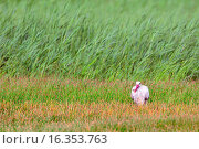 Купить «Cogogne blanche - avec ecrevisse - White Storck - with crayfish - Ciconia ciconia», фото № 16353763, снято 20 мая 2010 г. (c) age Fotostock / Фотобанк Лори