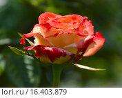 Роза чайно-гибридная Императрис Фарах (Императрица Фара) (Imperatrice Farah, delivour), Delbard 1992. Стоковое фото, фотограф lana1501 / Фотобанк Лори