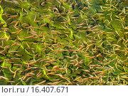 Купить «Мальки янтарной форели в искусственном водоеме», фото № 16407671, снято 7 августа 2015 г. (c) Игорь Долгов / Фотобанк Лори