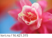 Купить «Phyllocactus hybr.», фото № 16421315, снято 27 мая 2018 г. (c) easy Fotostock / Фотобанк Лори