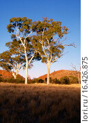 Купить «Ghost gum trees (Eucalyptus papuana). Outback. Australia.», фото № 16426875, снято 21 февраля 2019 г. (c) easy Fotostock / Фотобанк Лори