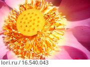 Купить «lotus core», фото № 16540043, снято 14 декабря 2018 г. (c) PantherMedia / Фотобанк Лори