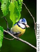 Купить «Blaumeise mit Beute», фото № 16563451, снято 5 июля 2020 г. (c) easy Fotostock / Фотобанк Лори