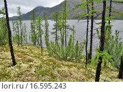 Кедровый стланик на мшистом берегу озера Улу в Якутии (2013 год). Стоковое фото, фотограф Сергей Дрозд / Фотобанк Лори