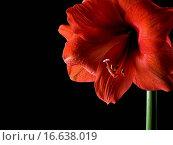 Купить «Amaryllis», фото № 16638019, снято 12 марта 2009 г. (c) easy Fotostock / Фотобанк Лори
