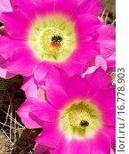 Купить «Rainbow hedgehog Echinocereus pectinatus», фото № 16778903, снято 20 января 2019 г. (c) easy Fotostock / Фотобанк Лори