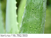 Купить «Aloe vera», фото № 16782503, снято 5 августа 2006 г. (c) easy Fotostock / Фотобанк Лори